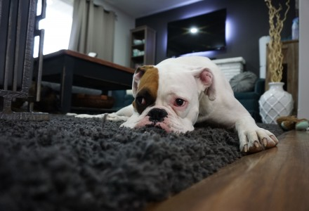 dog-rug-laminate floor