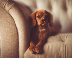 Cute puppy sitting on sofa